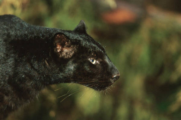 Panthera Pardus Photograph - Black Leopard by Duncan Shaw/science Photo Library