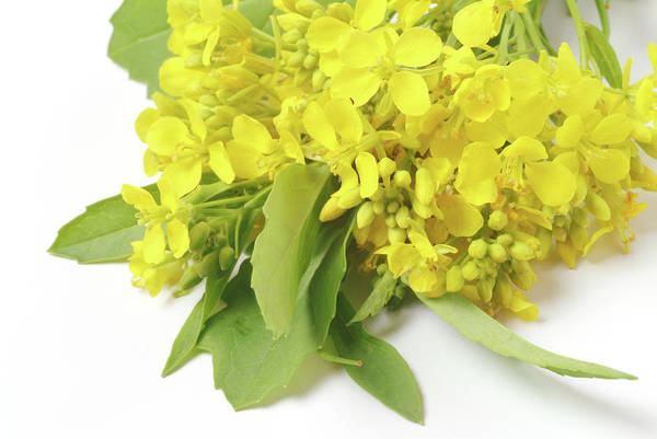Mustard Photograph - Black Mustard (brassica Nigra) by Bildagentur-online/th Foto/science Photo Library