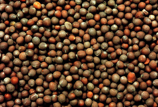 Mustard Photograph - Black Mustard Seeds by Th Foto-werbung/science Photo Library