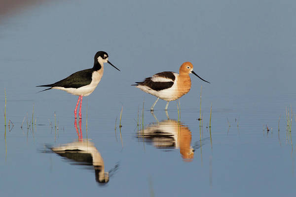 Wall Art - Photograph - Black-necked Stilt And American Avocet by Ken Archer
