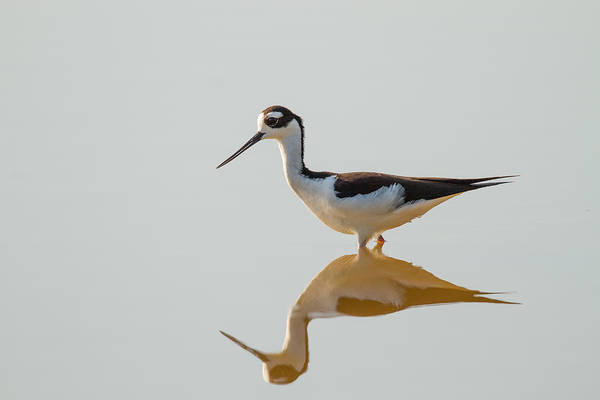 Photograph - Black-necked Stilt by Doug McPherson
