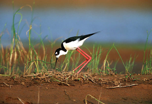 Birds Eggs Photograph - Black-necked Stilt (himantopus Mexicanus by Richard and Susan Day