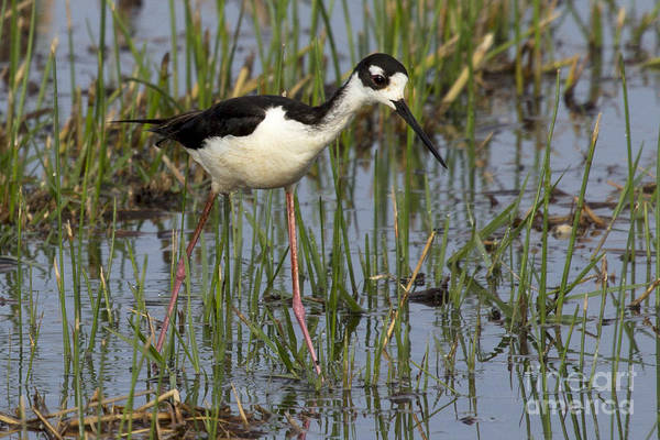 Photograph - Black-necked Stilt by Meg Rousher