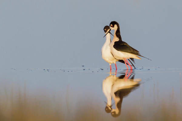 Courtship Photograph - Black-necked Stilts, Courtship Dance by Ken Archer