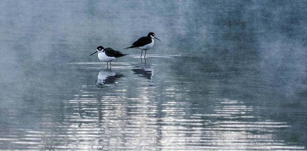 Photograph - Black-necked Stilts by Tam Ryan