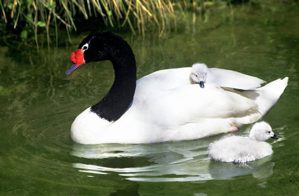 Swan Neck Photograph - Black-necked Swan Adult And Cygnets by Jaynes Gallery