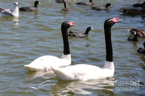 Swan Neck Photograph - Black-necked Swans by Carol Groenen