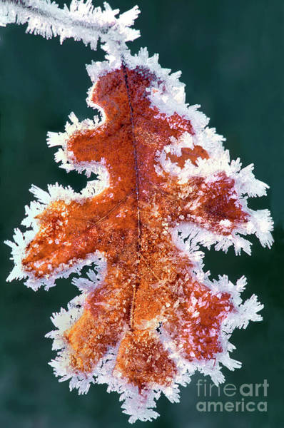 Photograph - Black Oak Leaf Rime Ice Yosemite National Park California by Dave Welling