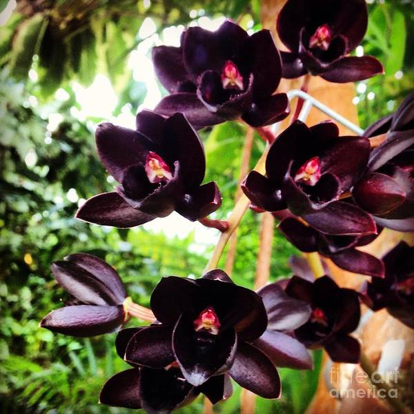 Photograph - Black Orchid by Angela Rath