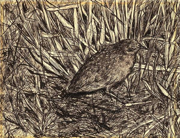Drawing - Black Rail by Kendall Kessler