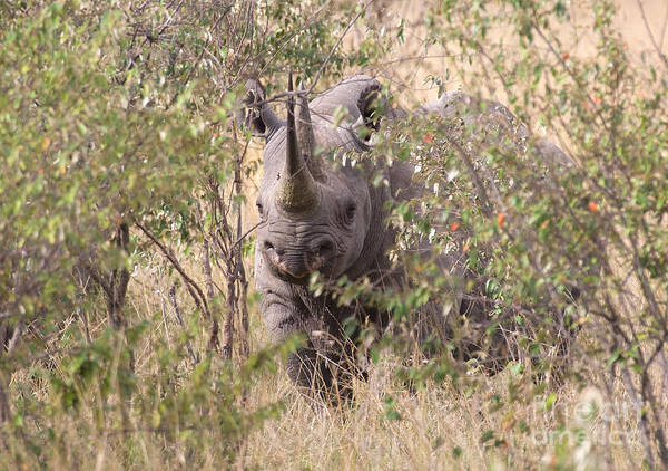 Rhinocerus Photograph - Black Rhino  by Chris Scroggins