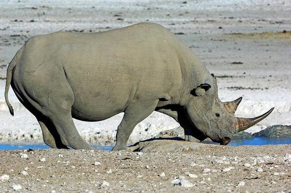 Rhinoceros Photograph - Black Rhino Drinking by Tony Camacho/science Photo Library