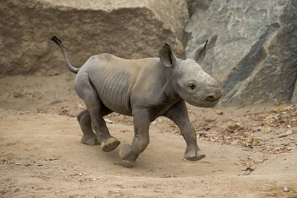 Critically Endangered Photograph - Black Rhinoceros Calf Running by San Diego Zoo