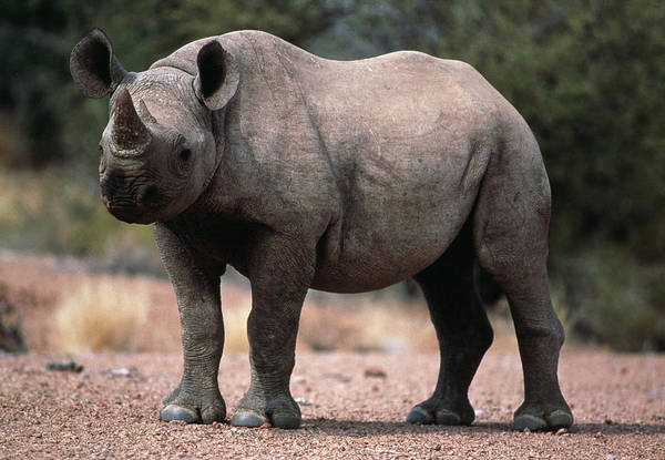 Rhinoceros Photograph - Black Rhinoceros Calf by Tony Camacho/science Photo Library