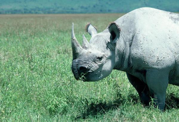 Rhinoceros Photograph - Black Rhinoceros by Dr P. Marazzi/science Photo Library