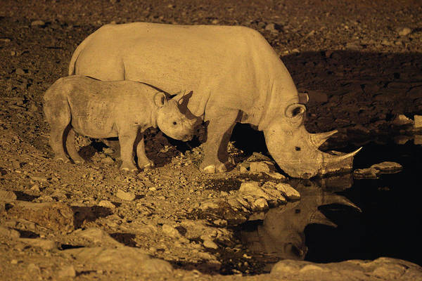 Urban Wildlife Photograph - Black Rhinoceros Etosha Pan Etosha by David Santiago Garcia