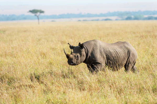 Savannah Photograph - Black Rhinoceros In Savannah Grassland by Mike Hill