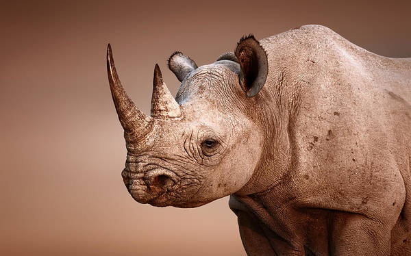 Strong Photograph - Black Rhinoceros Portrait by Johan Swanepoel