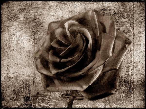 Photograph - Black Rose Eternal Sepia  by David Dehner