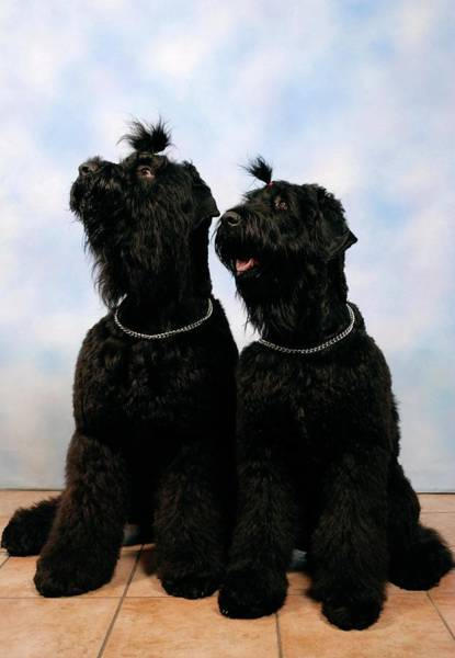 Wall Art - Photograph - Black Russian Terriers by Photostock-israel/science Photo Library