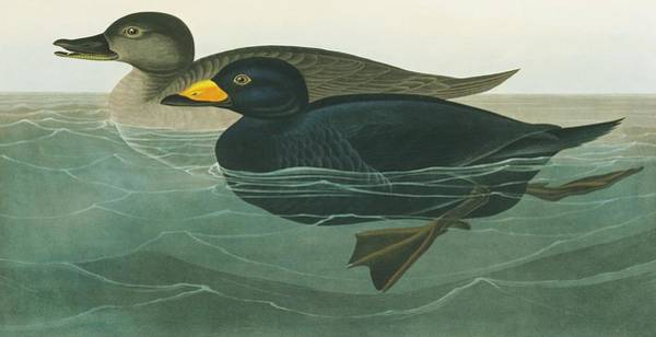 Wall Art - Photograph - Black Scoter by Natural History Museum, London/science Photo Library