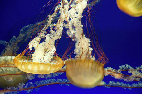 Monterey Bay Photograph - Black Sea Nettle Jellyfish At Monterey by Sabrina Dalbesio