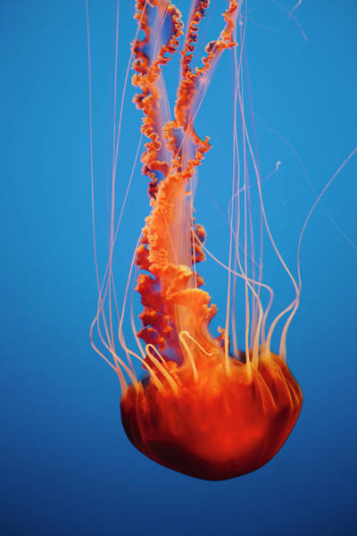 Monterey Bay Photograph - Black Sea Nettle Jellyfish Underwater by Mint Images - Paul Edmondson