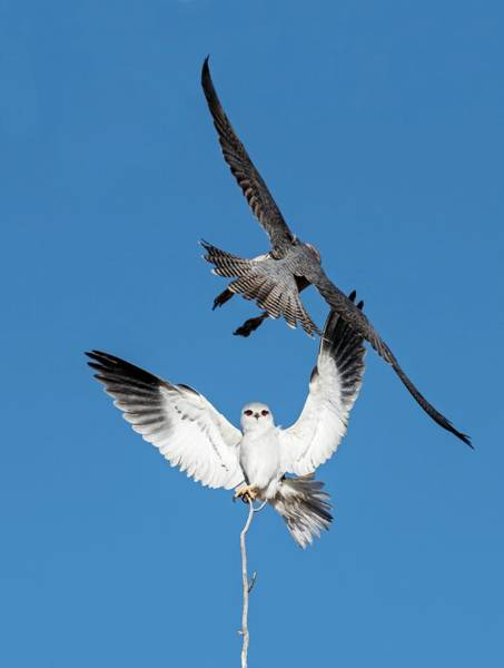 Black Kite Photograph - Black Shouldered Kite And Lanner Falcon by Tony Camacho/science Photo Library