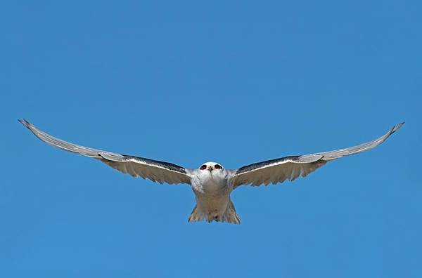 Black Kite Photograph - Black-shouldered Kite In Flight by Tony Camacho/science Photo Library