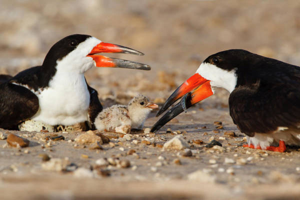 Skimmers Photograph - Black Skimmer And Chick by Larry Ditto