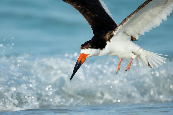 Skimmers Photograph - Black Skimmer Coming In For A Landing by Maresa Pryor