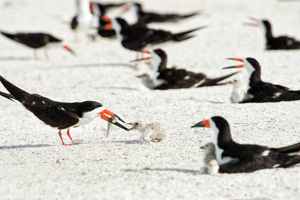 Skimmers Photograph - Black Skimmer Feeding Chick (large by Sheila Haddad
