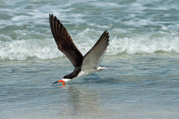 Skimmers Photograph - Black Skimmer Feeding In Water Flying by Sheila Haddad