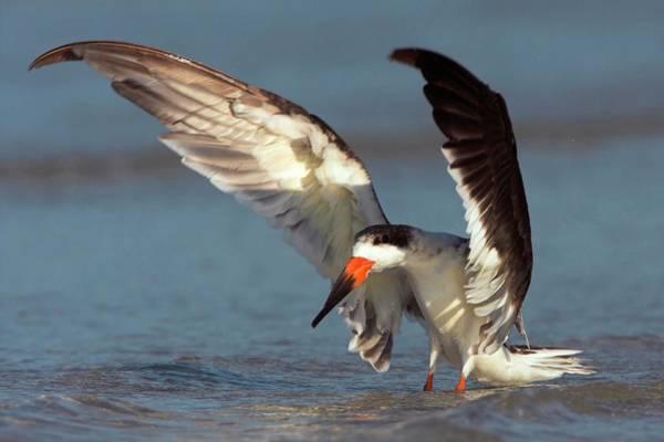 Skimmers Photograph - Black Skimmer Landing On Water by Bildagentur-online/mcphoto-schaef