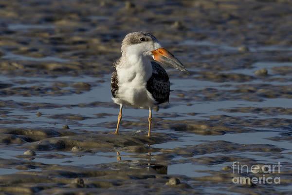 Photograph - Black Skimmer Photo by Meg Rousher