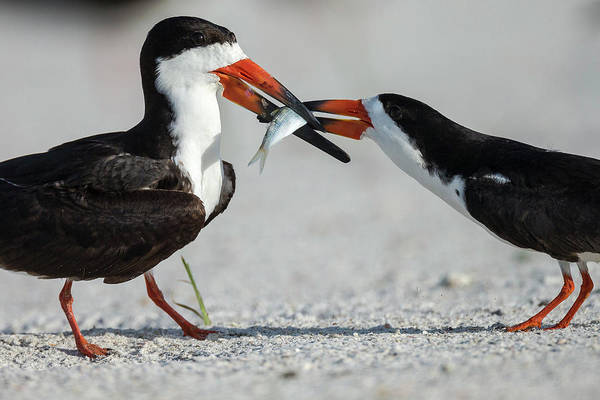 Skimmers Photograph - Black Skimmer Protecting Minnow by Maresa Pryor