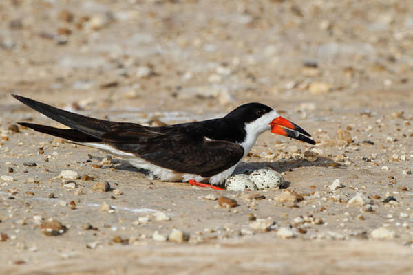 Birds Eggs Photograph - Black Skimmer (rynchops Niger by Larry Ditto