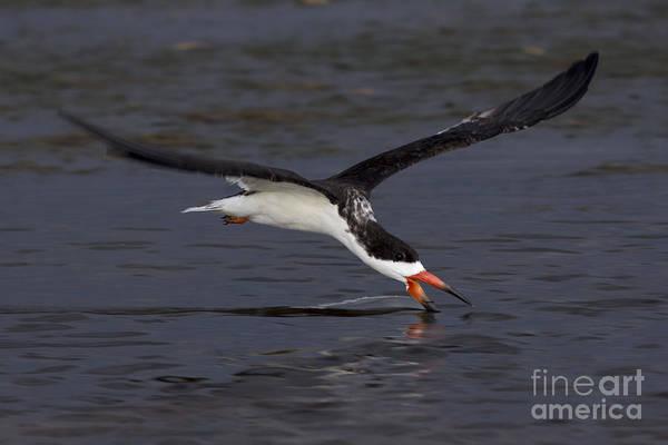 Photograph - Black Skimmer Skimming by Meg Rousher