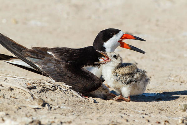 Birds Eggs Photograph - Black Skimmers At Nesting Colony by Larry Ditto