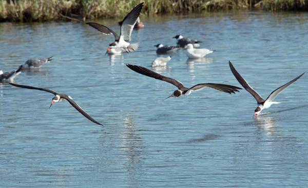Birds Of Texas Photograph - Black Skimmers Feeding In Flight by Bob Gibbons/science Photo Library