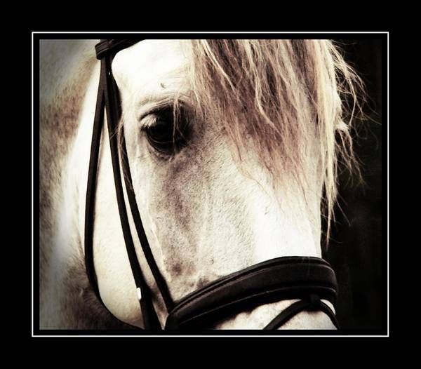 Photograph - Black Snaffle by Alice Gipson