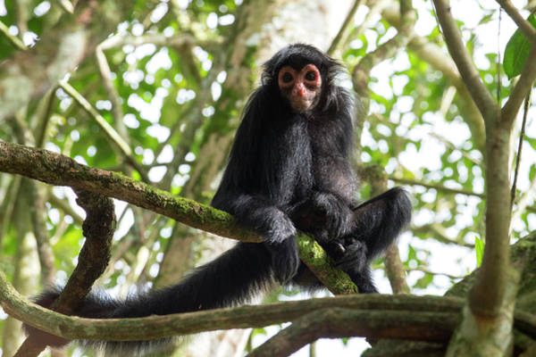 Shield Photograph - Black Spider Monkey by Louise Murray/science Photo Library