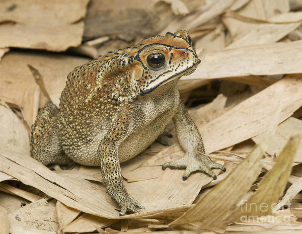 Photograph - Black-spined Toad by Dan Suzio