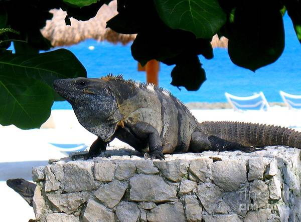 Photograph - Black Spiny Tailed Iguana by Patti Whitten