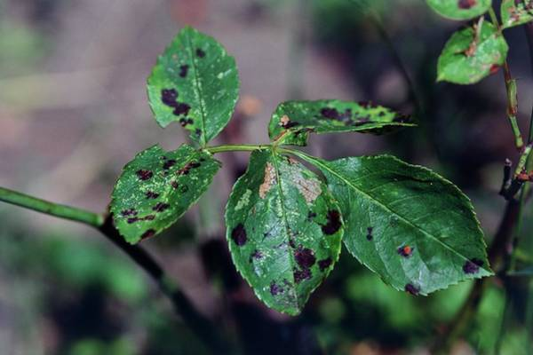 Rust Fungus Photograph - Black Spot by Adrian Thomas/science Photo Library