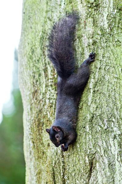 Grey Squirrel Photograph - Black Squirrel Eating A Nut by John Devries