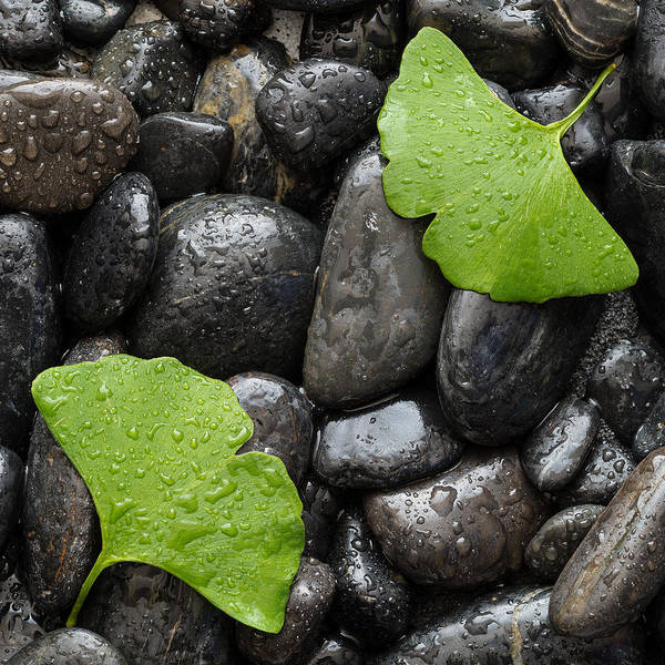 Wall Art - Photograph - Black Stones And Ginko Leaves Square by Steve Gadomski