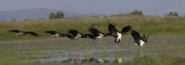Black Stork Landing. Art Print