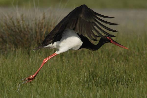 Black Stork Taking Off. Art Print