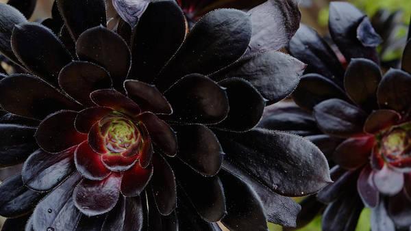 Black Succulent Art Print